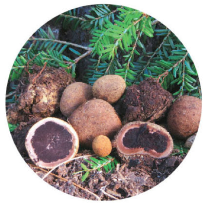 Deer truffles are among the most common variety found in northern forests.