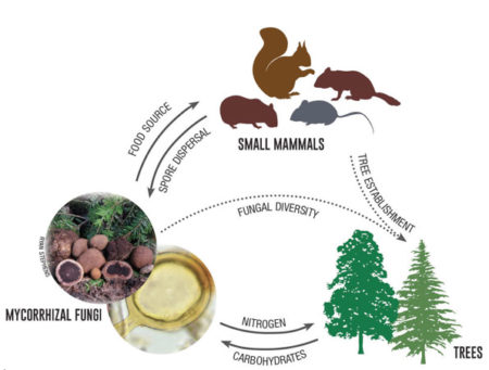 The relationships among trees, truffles, and small mammals illustrate the interconnectedness of organisms in this ecosystem.