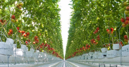 photo courtesy Dave Chapman Wholesum Harvest tomatoes, grown hydroponically, can be produced indoors with artificial lights 24/7 all year long.