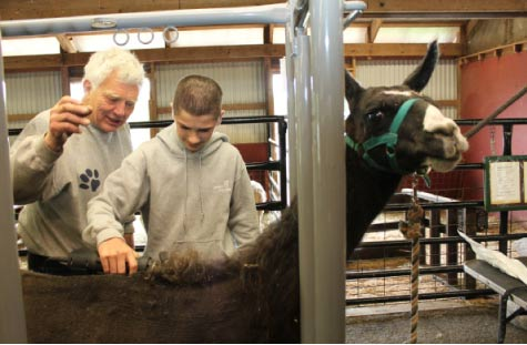 A Green Chimneys student learns to shear a llama