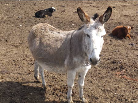 photo by Jack Kittredge A burro lives with Janet's cow/calf herd to provide coyote protection.