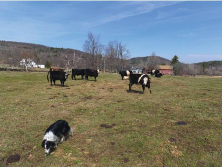 Emma checks on some of the feeder cattle grazing in April.
