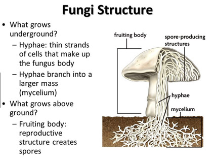 Structures Found In Fungi