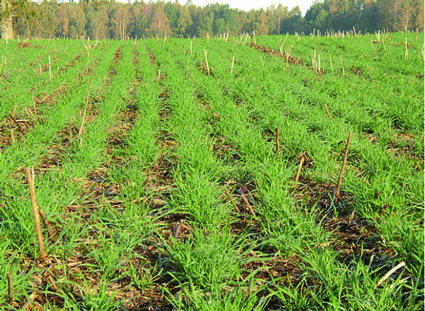 "Landrace wheat at 12"" spacing produces over 40 tillers per plant. Each clump grows from one seed."