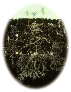 root ststructure of conifer seedlings