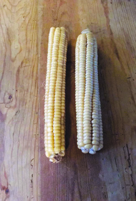 Ears of Narragansett white corn,