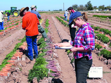 Katie Miller evaluating carrot breeding families