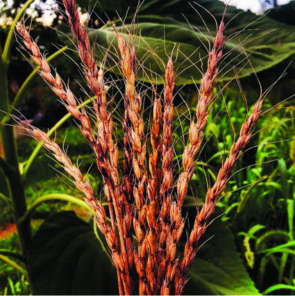 'Tim Peters' perennial wheat