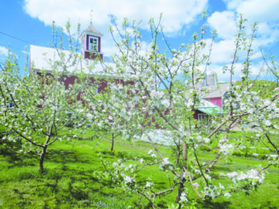Apple blossoms on The Farm Between