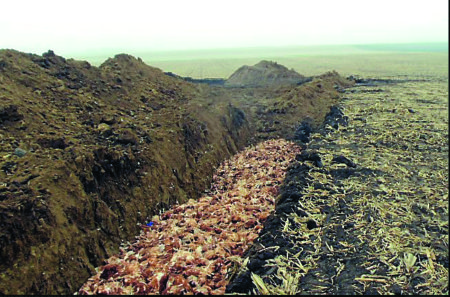 Mortalities resulting from flu outbreaks are disposed of by burning or in mass graves