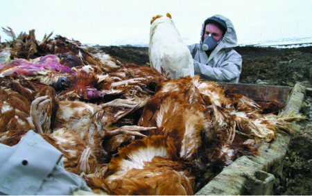 Collecting the dead birds is a hazarrdous job for workers