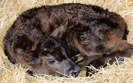 Calf in dry bedding