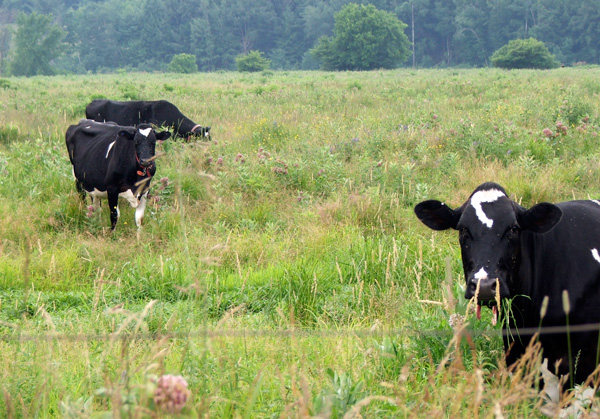 Dry cows and heifers