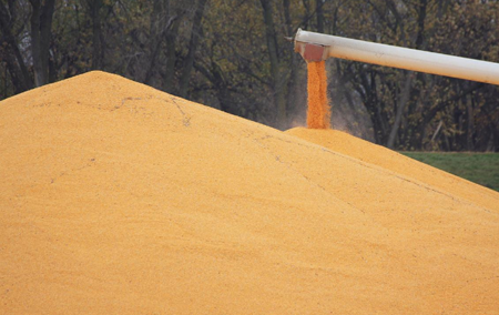 Grain pouring on pile