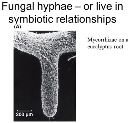 mycorrhizae on root
