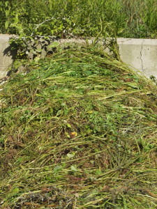 Next, green weeds are laid on the bed to assure an abundance of bacteria food and jumpstart the fermenting digestion. Green, juicy plant debris also supply some nitrogen.