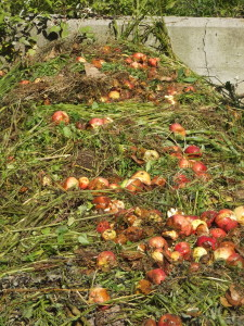 Now a layer of rotting apples is applied to bring local fungi and bacteria to the pile and provide a sweet treat for the microbes.