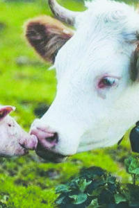 pig-and-cow-nose-to-nose