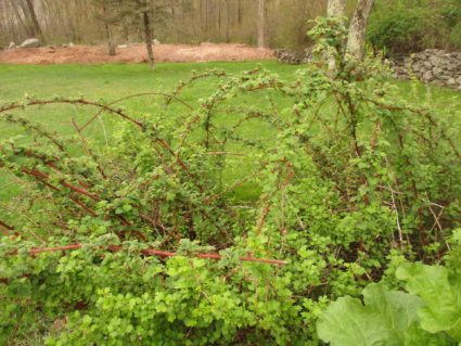 Wineberries just will not invade!